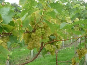 little-oak-vineyard-2014-grapes
