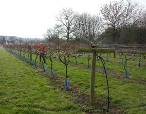 little-oak-vineyard-2014-vines