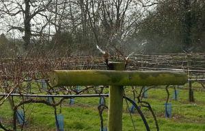 little-oak-vineyard-frost-protection-sprinkler-test-2