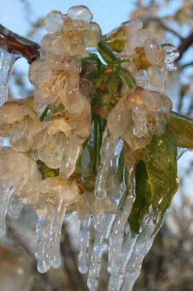 This picture shows a vine and its leaves covered in protective ice